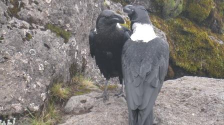 shira-camp-kilimanjaro-white-naped-ravens