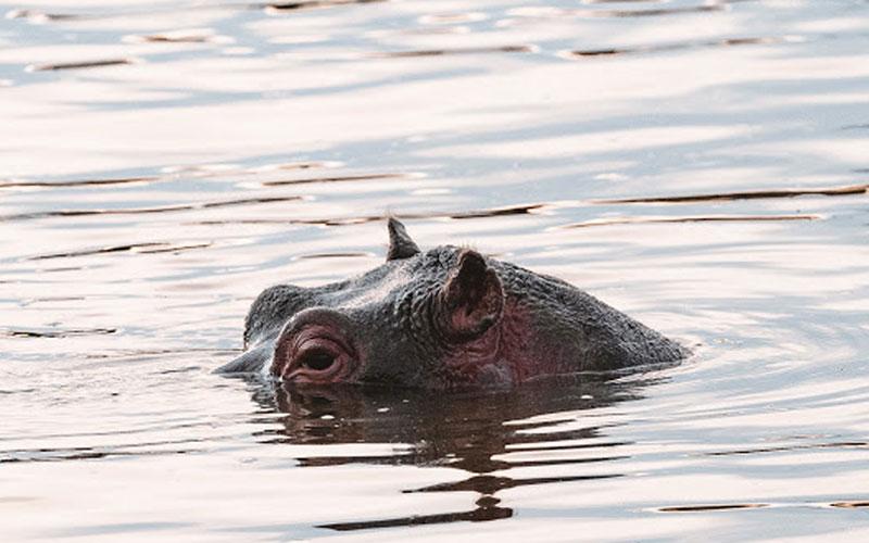 hippo safari animals tanzania