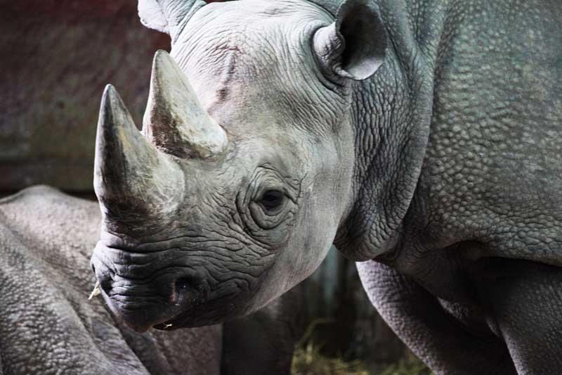 Black-Rhino-safari-tanzania-animals