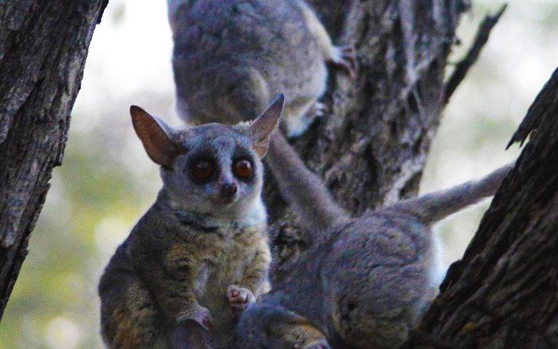 Bushbaby-in-a-tree