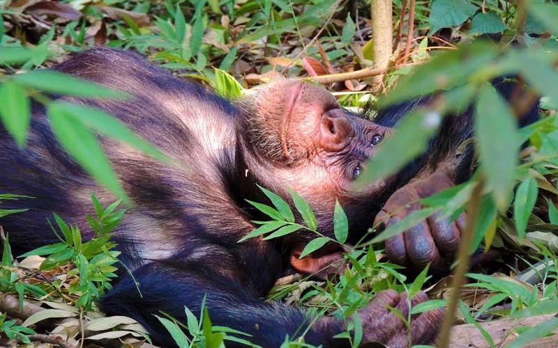 Chimp-trekking-in-Tanzania