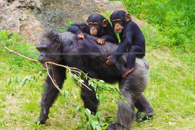 Chimpanzee-trekking-in-Tanzania