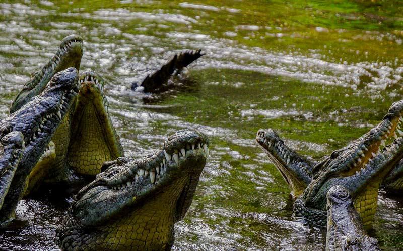 Crocodiles-in-water