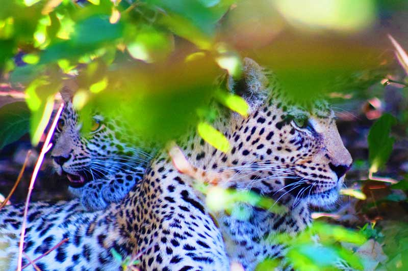 Leopards-in-bushes
