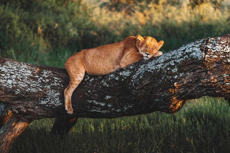 Lion-on-low-tree-sleeping-safari-tanzania