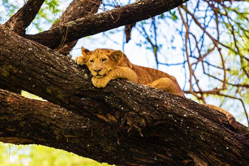 Lion-on-tree-tarangire