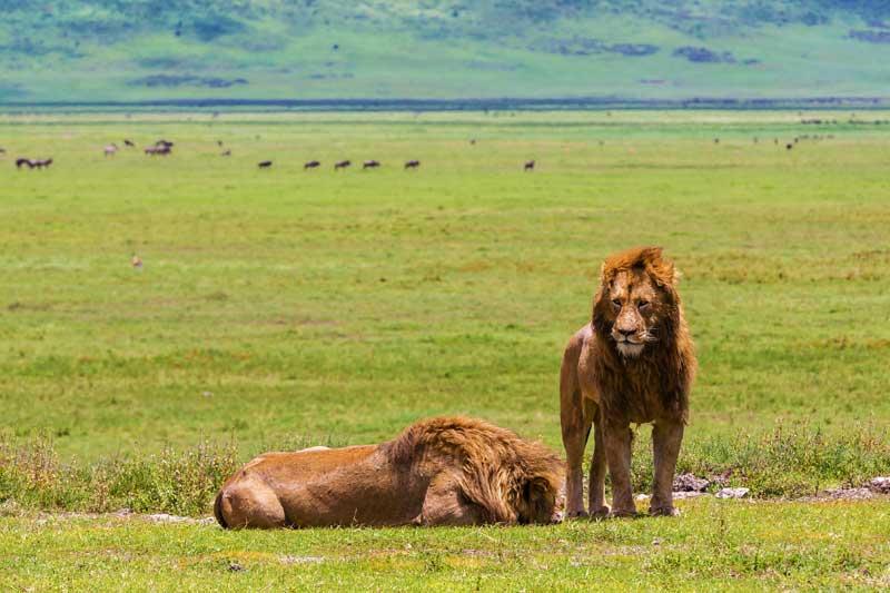 Ngorongoro-Crater-Lions