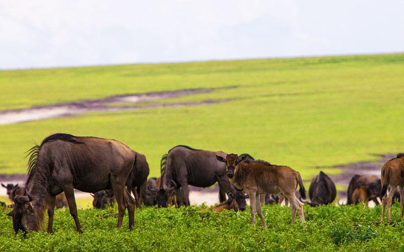 Ngorongoro-Wildebeest-Calving-Calf