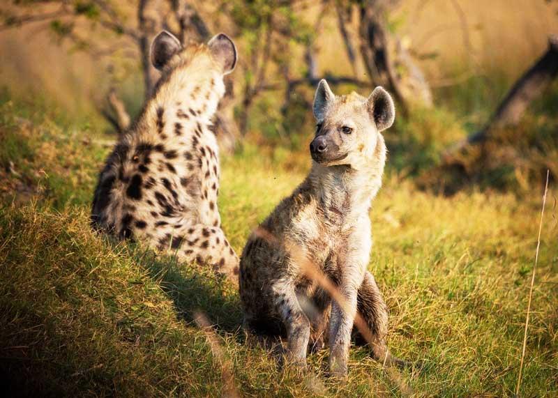 Spotted-hyena-safari-animals-tanzania