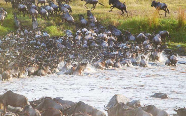 Great Wildebeest Migration River Crossing in Serengeti