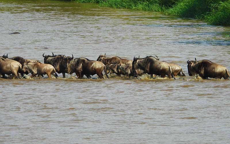 Wildebeest-river-crossing
