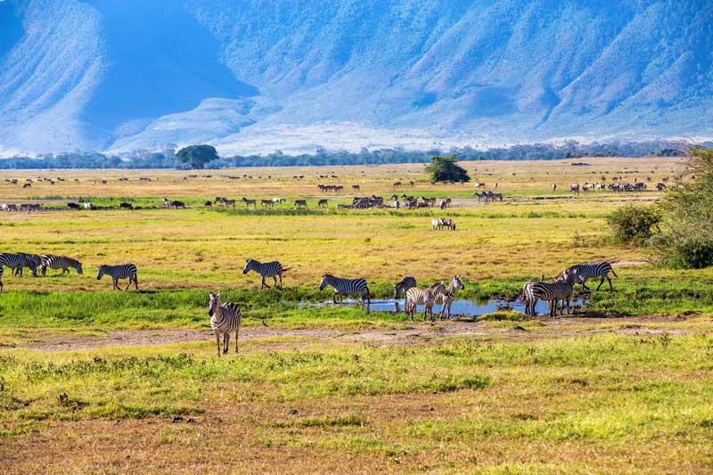 Zebra-Herds-Ngorongoro