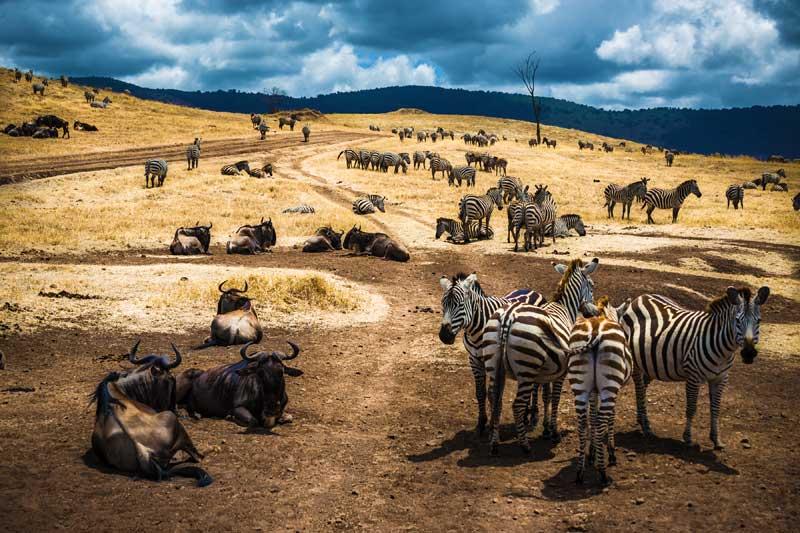 Zebra-and-Wildebeest-Migration
