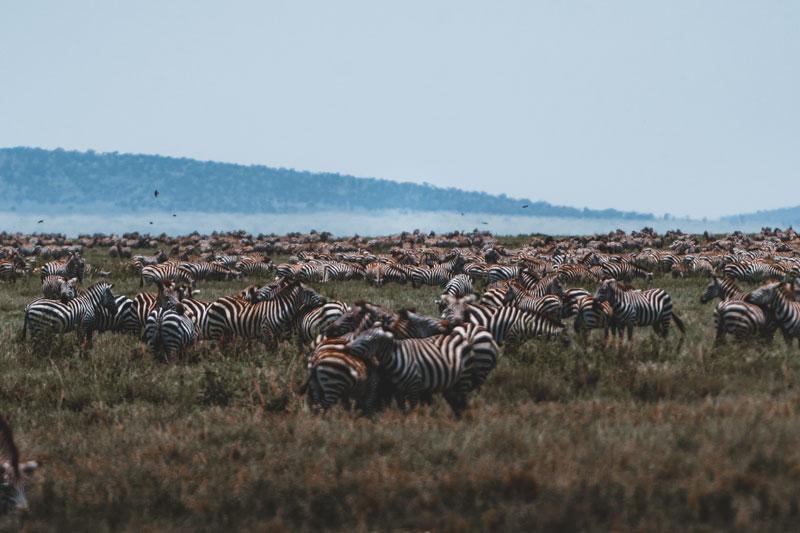 Zebra-herds-migration