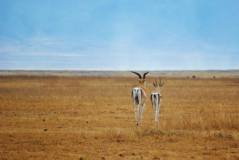 antelope-springbok