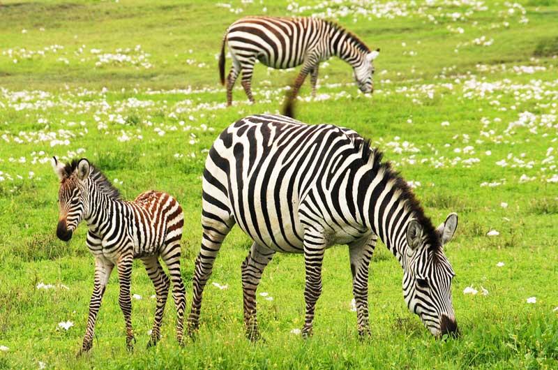 baby-zebra-calf-calving
