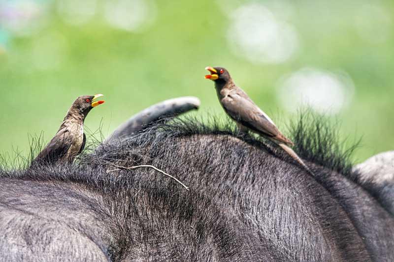 birds-on-top-of-buffalo-tanzania-animals-safari