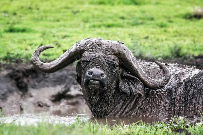buffalo-in-mud-tanzania-safari