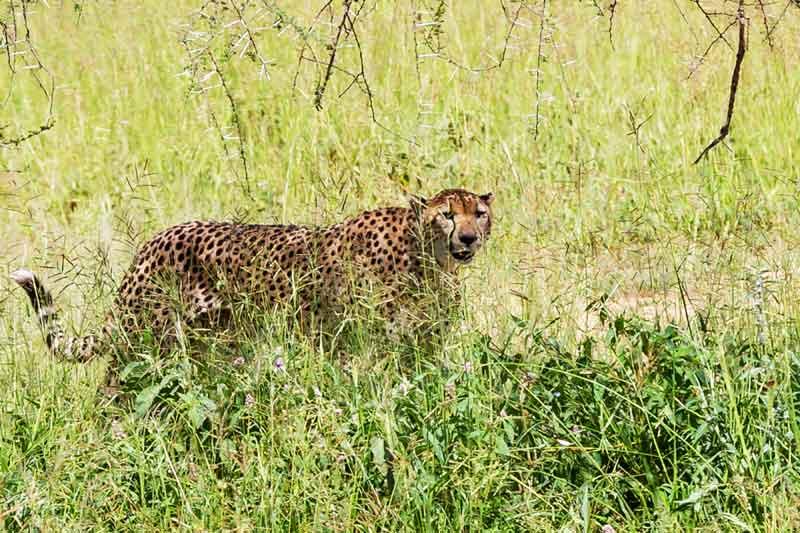 cheetah-in-grass-tanzania