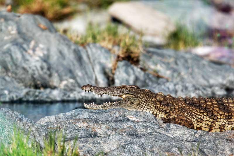 crocodile-river-tanzania
