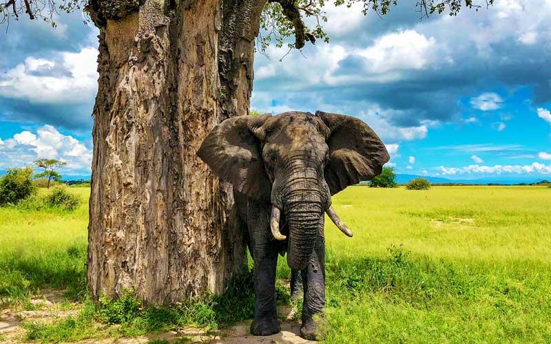 elephant-baobab-tarangire-national-park