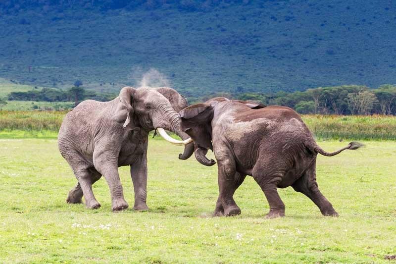 elephants-fight-tanzania-animals-safari