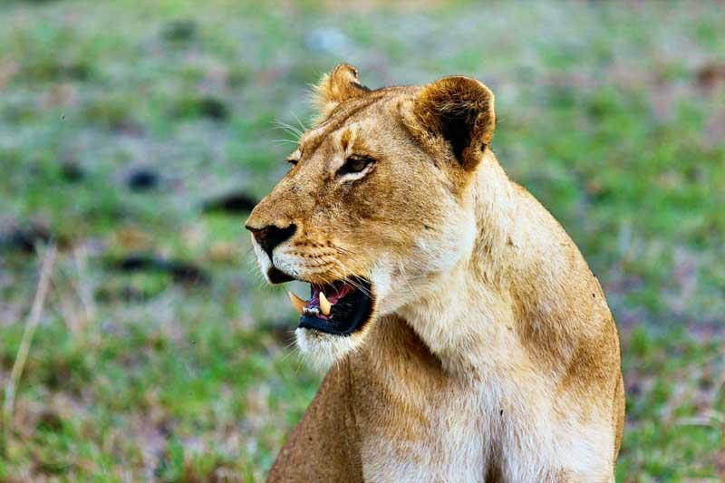 female-lion-face