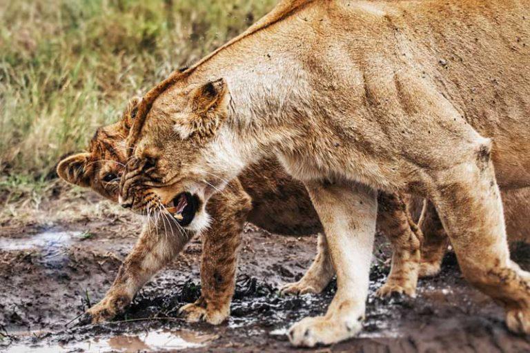 female-lion-lioness-tanzania