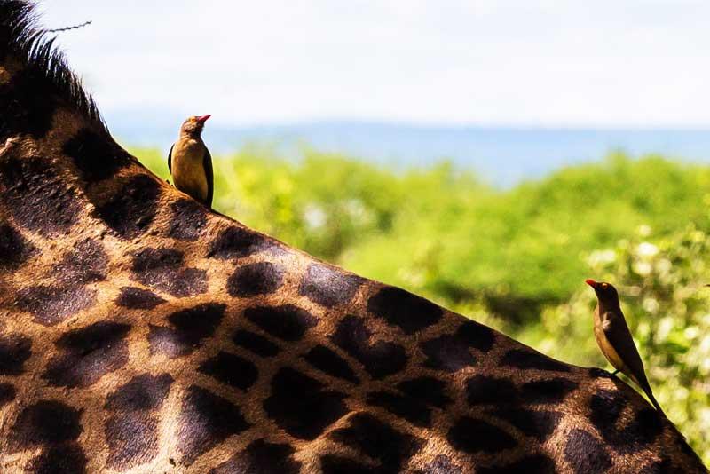giraffe-back-birds-animals-safari-tanzania