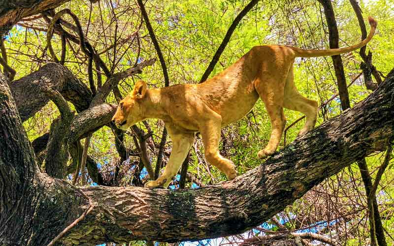 lion-tree-climbing
