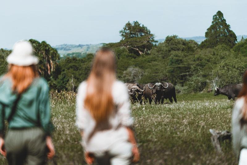 safari-watching-buffalo-herd-tanzania-animals