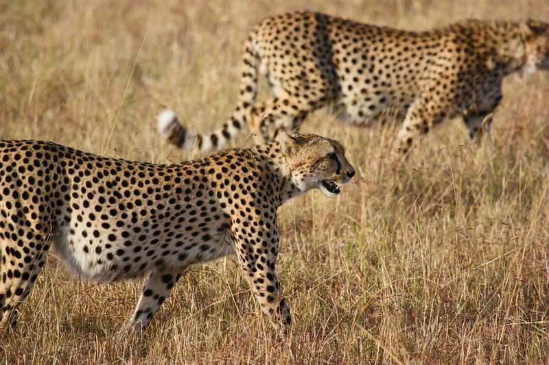 two-cheetahs