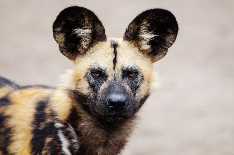 wild-dog-safari-animals-tanzania