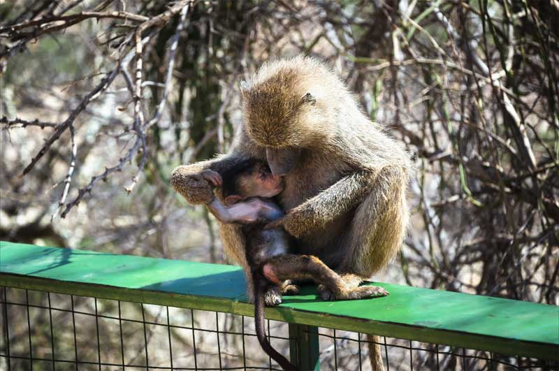 Baboon-mother-and-baby-cuddle