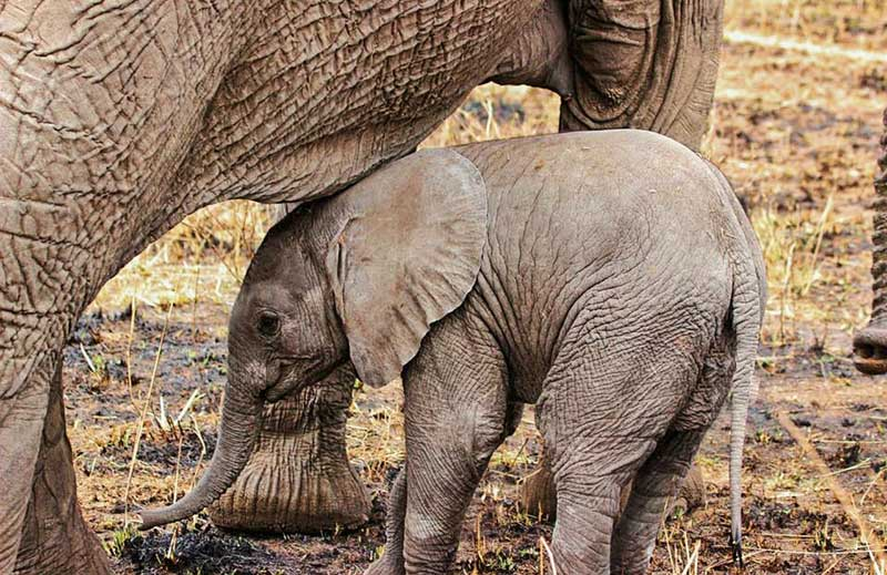 Baby-elephant-highing-near-mum