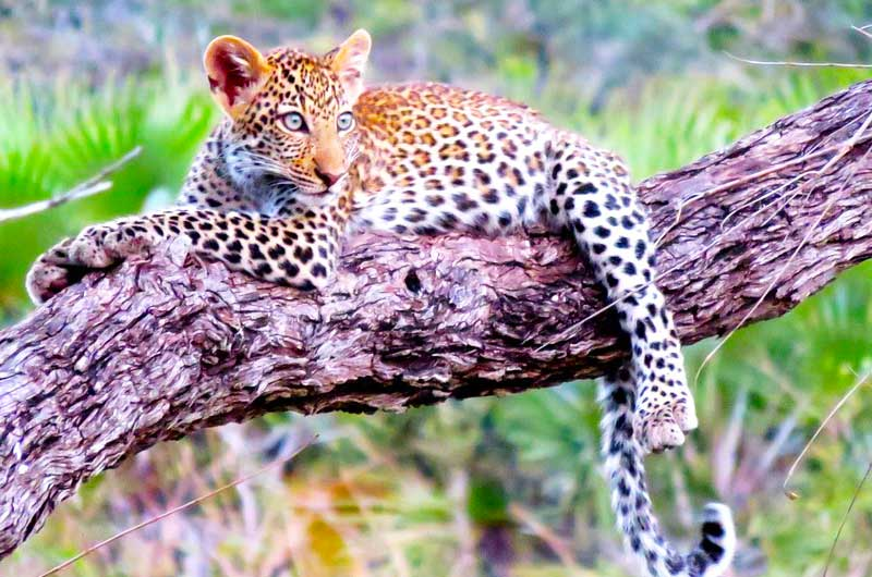 Baby-leopard-on-a-tree