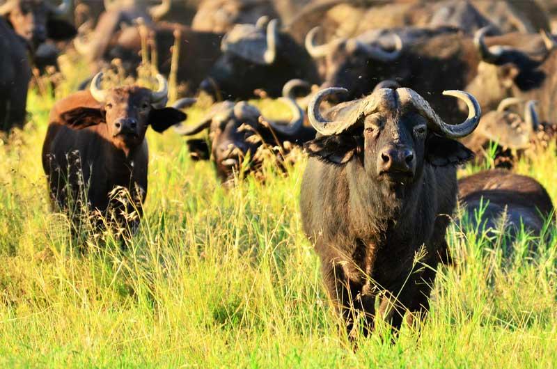 Buffalo-Herd-grass