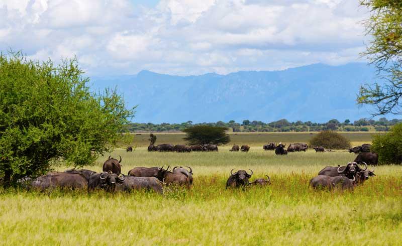 Buffalo-in-grass