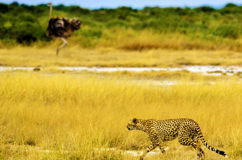 Cheetah-hunt