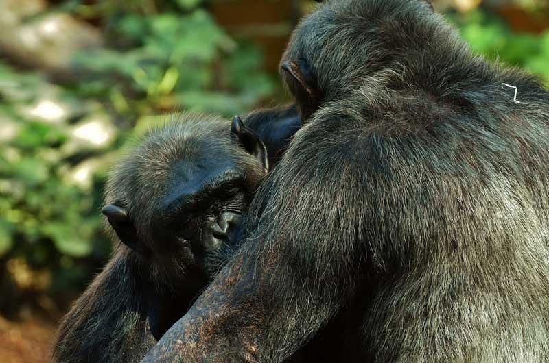Chimpanzee-hug