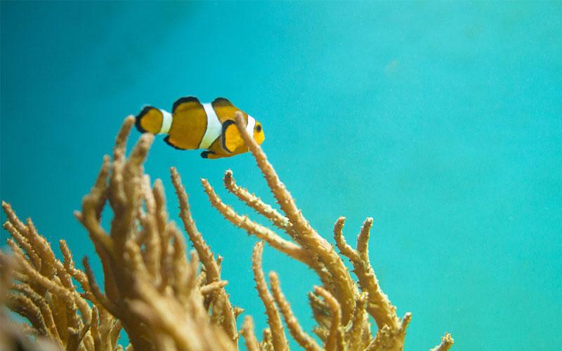Clownfish-Indean-Ocean
