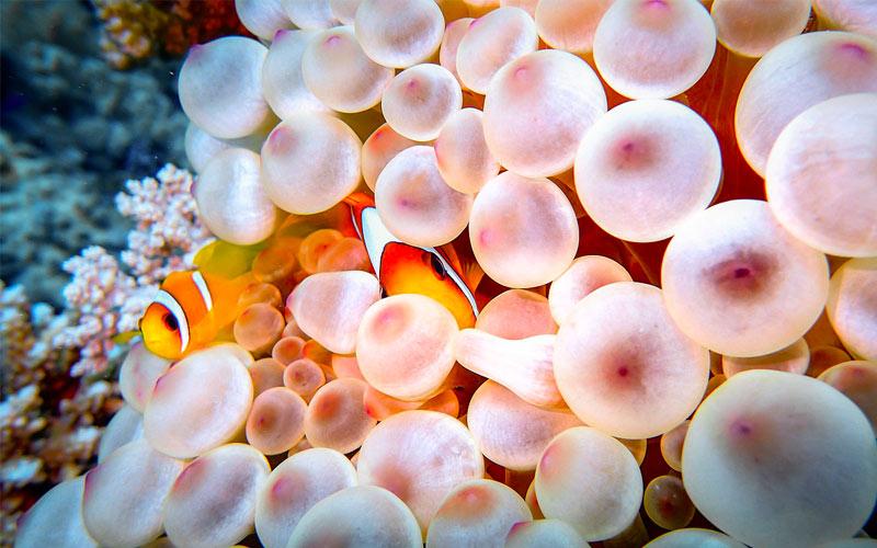 Clownfish-in-corals