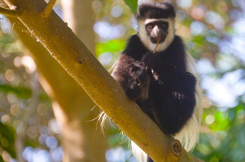 Colombus-monkey