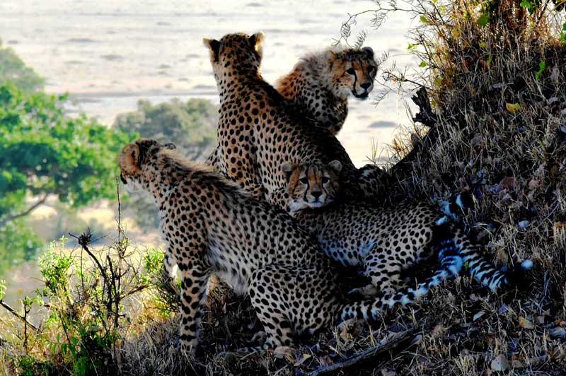 Four-Cheetahs