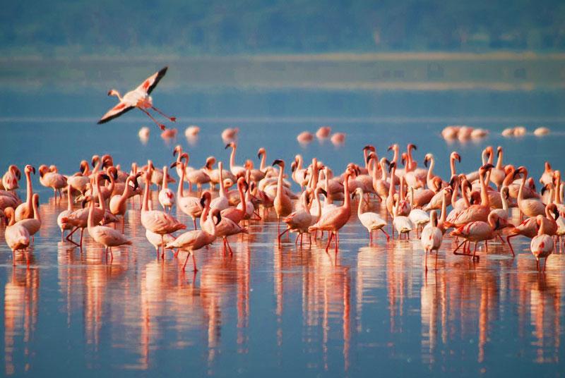 Lake-Manyara-Pink-flamingos