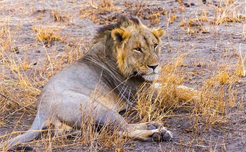 Lion-dry-land