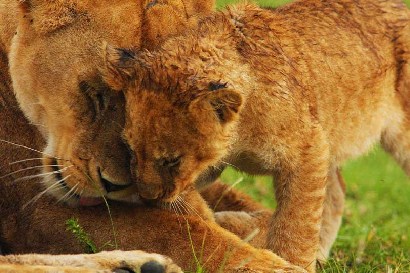 Lioness-and-baby-lion