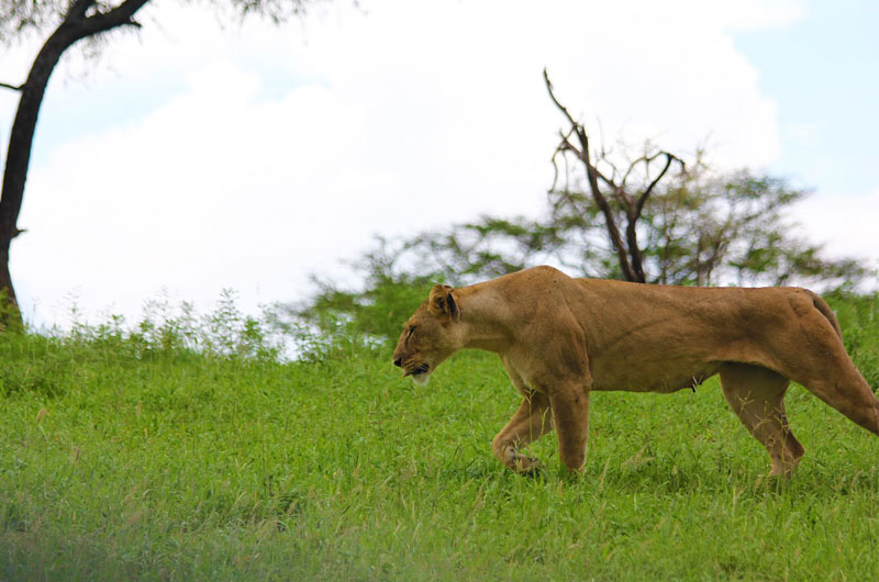Lioness-on-a-hunt
