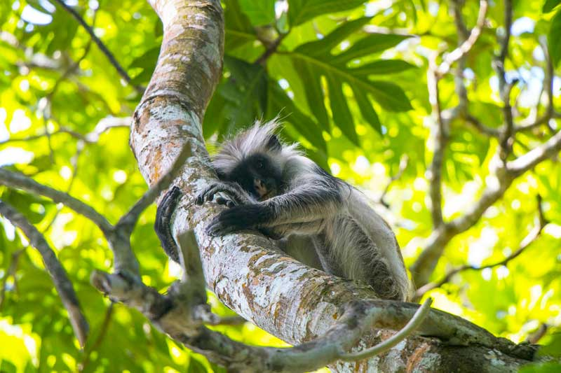Monkey-Zanzibar