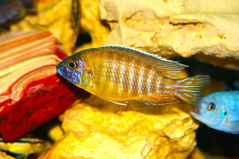 Nkhomo-benga-peacock-fish